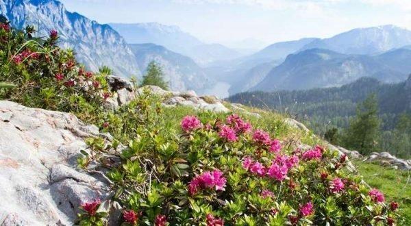 alpenrosen 2